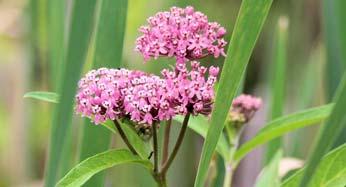 Common wildflowers in northeast ohio summit metro parks swamp milkweed asclepias incarnata rose pink flowers mightylinksfo